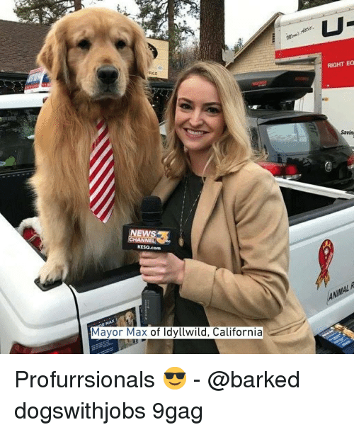 9gag, Memes, and News: RIGHT EO  FICE  Savin  NEWS  KESO.com  Mayor Max of ldyllwild, California Profurrsionals 😎 - @barked dogswithjobs 9gag