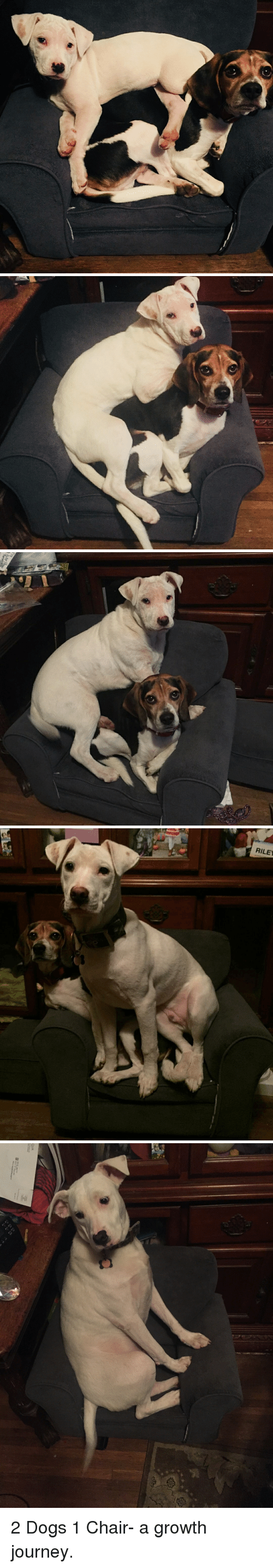 Dogs, Journey, and Chair: RILEY 2 Dogs 1 Chair- a growth journey.