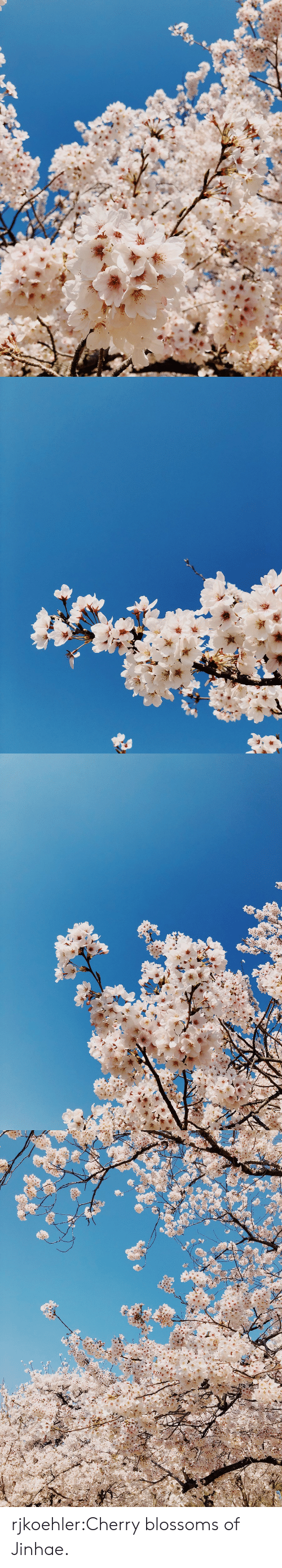 Target, Tumblr, and Blog: rjkoehler:Cherry blossoms of Jinhae.