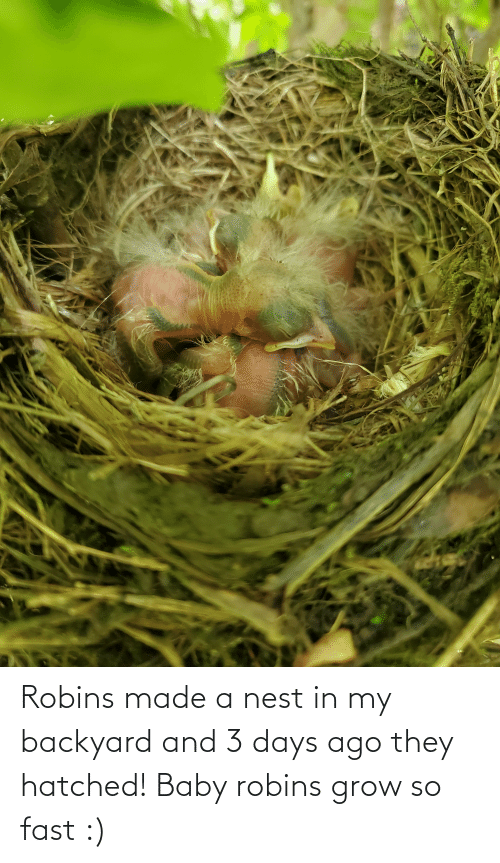 Nest: Robins made a nest in my backyard and 3 days ago they hatched! Baby robins grow so fast :)