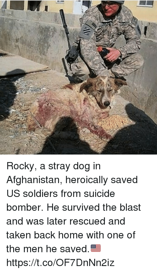 Suicide Bomber: Rocky, a stray dog in Afghanistan, heroically saved US soldiers from suicide bomber. He survived the blast and was later rescued and taken back home with one of the men he saved.🇺🇸 https://t.co/OF7DnNn2iz