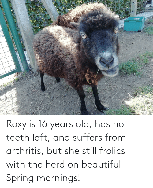 16 years old: Roxy is 16 years old, has no teeth left, and suffers from arthritis, but she still frolics with the herd on beautiful Spring mornings!