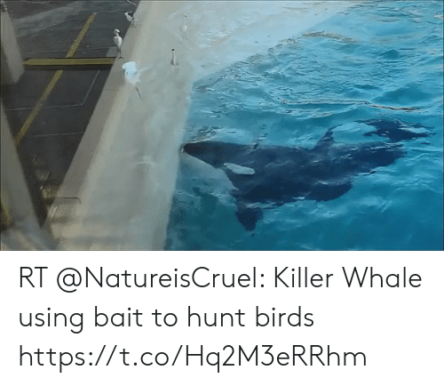 killer whale: RT @NatureisCruel: Killer Whale using bait to hunt birds https://t.co/Hq2M3eRRhm