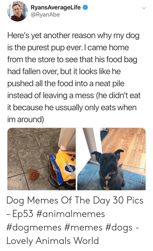 Yet Another: RyansAverageLife  @RyanAbe  Here's yet another reason why my dog  is the purest pup ever. I came home  from the store to see that his food bag  had fallen over, but it looks like he  pushed all the food into a neat pile  instead of leaving a mess (he didn't  it because he ussually only eats when  im around)  Pedigre Dog Memes Of The Day 30 Pics – Ep53 #animalmemes #dogmemes #memes #dogs - Lovely Animals World