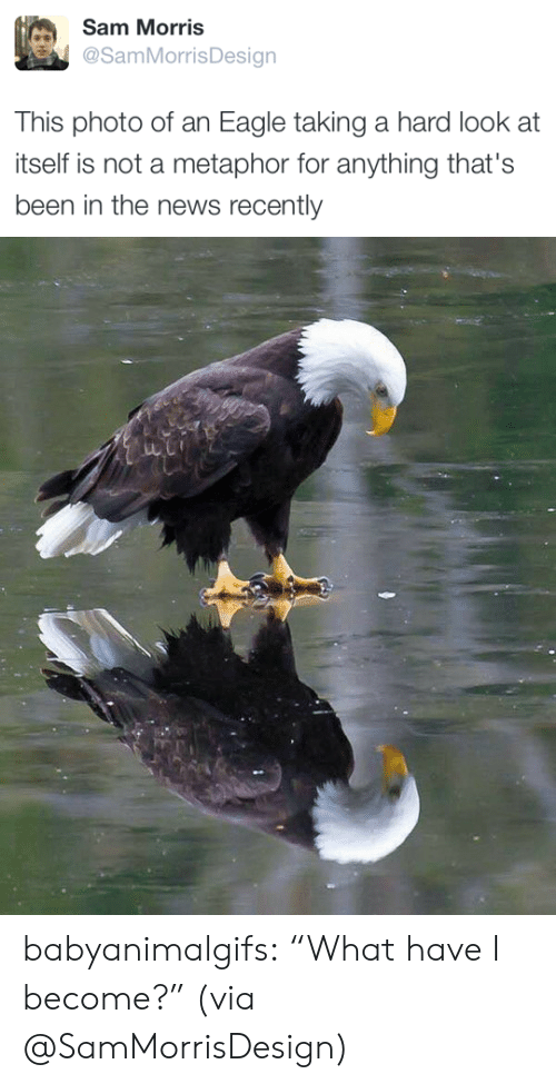 """News, Tumblr, and Twitter: Sam Morris  @SamMorrisDesian  This photo of an Eagle taking a hard look at  itself is not a metaphor for anything that's  been in the news recently babyanimalgifs:  """"What have I become?"""" (via @SamMorrisDesign)"""
