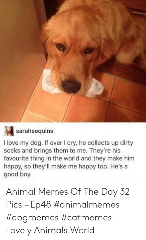 i cry: sarahsequins  I love my dog. If ever I cry, he collects up dirty  socks and brings them to me. They're his  favourite thing in the world and they make him  happy, so they'll make me happy too. He's a  good boy. Animal Memes Of The Day 32 Pics – Ep48 #animalmemes #dogmemes #catmemes - Lovely Animals World