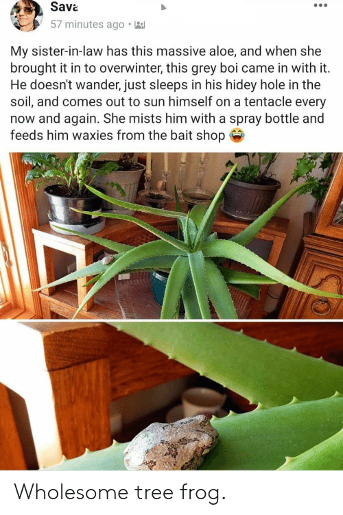 In Law: Sava  57 minutes ago  My sister-in-law has this massive aloe, and when she  brought it in to overwinter, this grey boi came in with it.  He doesn't wander, just sleeps in his hidey hole in the  soil, and comes out to sun himself on a tentacle every  now and again. She mists him with a spray bottle and  feeds him waxies from the bait shop Wholesome tree frog.
