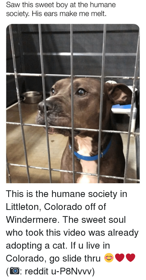 Humane Society: Saw this sweet boy at the humane  society. His ears make me melt. This is the humane society in Littleton, Colorado off of Windermere. The sweet soul who took this video was already adopting a cat. If u live in Colorado, go slide thru 😊❤️❤️ (📷: reddit u-P8Nvvv)