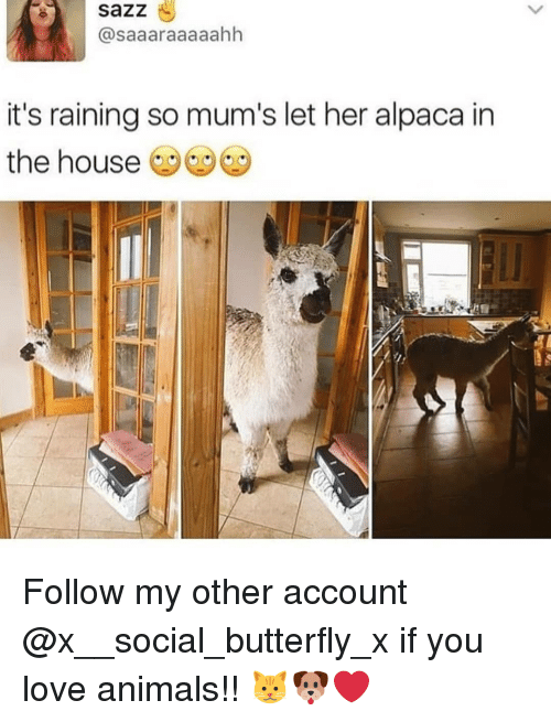 its-raining: sazz  @saaaraaaaahh  it's raining so mum's let her alpaca in  the house Follow my other account @x__social_butterfly_x if you love animals!! 🐱🐶❤