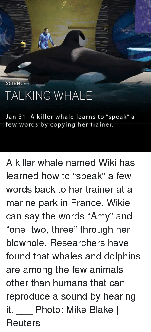 "killer whale: SCIENCE  TALKING WHALE  Jan 31| A killer whale learns to ""speak"" a  few words by copying her trainer. A killer whale named Wiki has learned how to ""speak"" a few words back to her trainer at a marine park in France. Wikie can say the words ""Amy"" and ""one, two, three"" through her blowhole. Researchers have found that whales and dolphins are among the few animals other than humans that can reproduce a sound by hearing it. ___ Photo: Mike Blake 