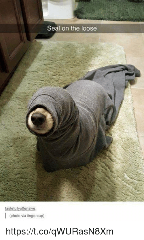 tastefully offensive: Seal on the loose  tastefully offensive  (photo via fingercup) https://t.co/qWURasN8Xm