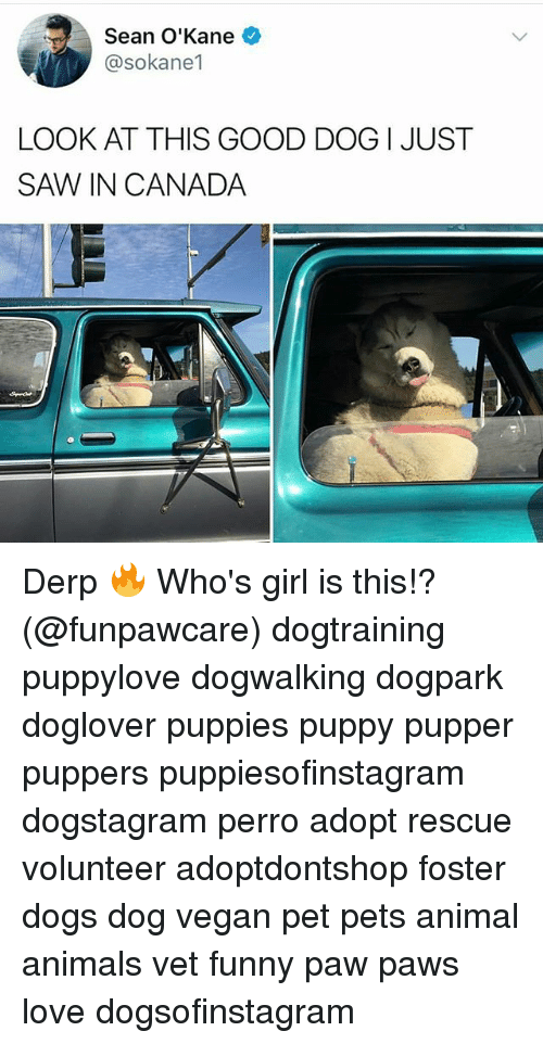Pawing: Sean O'Kane  @sokane1  LOOK AT THIS GOOD DOG I JUST  SAW、IN CANADA Derp 🔥 Who's girl is this!? (@funpawcare) dogtraining puppylove dogwalking dogpark doglover puppies puppy pupper puppers puppiesofinstagram dogstagram perro adopt rescue volunteer adoptdontshop foster dogs dog vegan pet pets animal animals vet funny paw paws love dogsofinstagram
