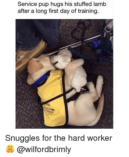 Hard Worker: Service pup hugs his stuffed lamb  after a long first day of training Snuggles for the hard worker 🤗 @wilfordbrimly