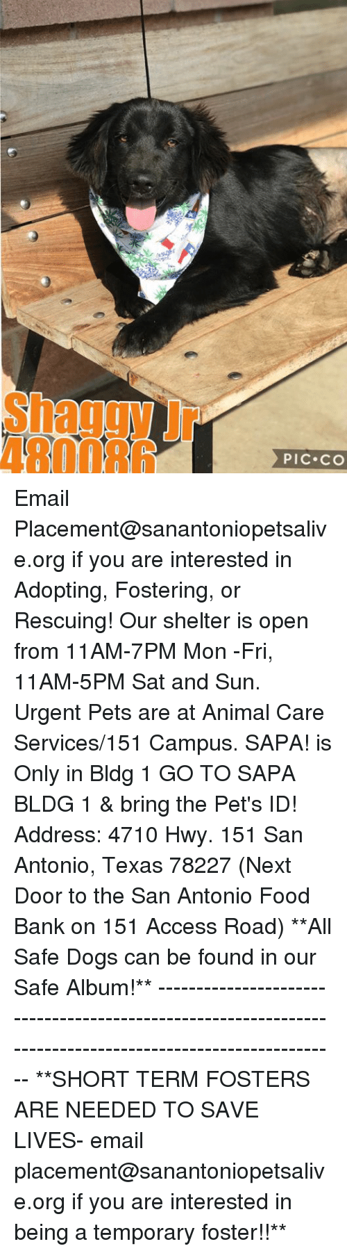 food bank: Shaggy Jr  480086  PIC CO Email Placement@sanantoniopetsalive.org if you are interested in Adopting, Fostering, or Rescuing!  Our shelter is open from 11AM-7PM Mon -Fri, 11AM-5PM Sat and Sun.  Urgent Pets are at Animal Care Services/151 Campus. SAPA! is Only in Bldg 1 GO TO SAPA BLDG 1 & bring the Pet's ID! Address: 4710 Hwy. 151 San Antonio, Texas 78227 (Next Door to the San Antonio Food Bank on 151 Access Road)  **All Safe Dogs can be found in our Safe Album!** ---------------------------------------------------------------------------------------------------------- **SHORT TERM FOSTERS ARE NEEDED TO SAVE LIVES- email placement@sanantoniopetsalive.org if you are interested in being a temporary foster!!**
