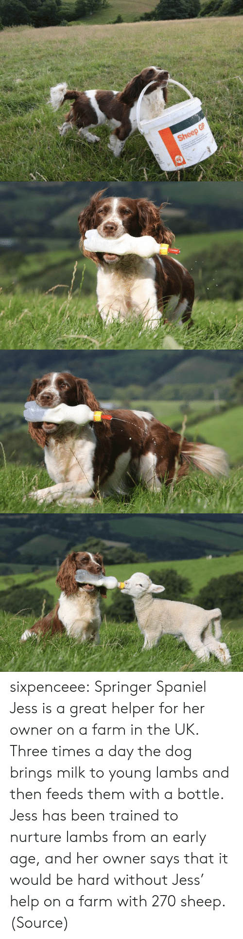 Izismile Com: Sheep GP sixpenceee:  Springer Spaniel Jess is a great helper for her owner on a farm in the UK. Three times a day the dog brings milk to young lambs and then feeds them with a bottle. Jess has been trained to nurture lambs from an early age, and her owner says that it would be hard without Jess' help on a farm with 270 sheep. (Source)