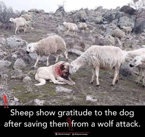gratitude: Sheep show gratitude to the dog  after saving them from a wolf attack.