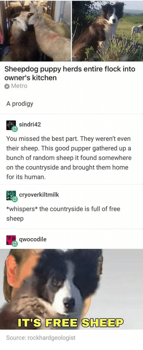 sheepdog: Sheepdog puppy herds entire flock into  owner's kitchen  Metro  A prodigy  sindri42  You missed the best part. They weren't even  their sheep. This good pupper gathered up a  bunch of random sheep it found somewhere  on the countryside and brought them home  for its human.  cryoverkiltmilk  *whispers* the countryside is full of free  sheep  qwocodile  0  IT'S FREE SHEEP  Source: rockhardgeologist