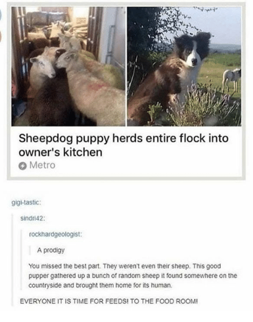 sheepdog: Sheepdog puppy herds entire flock into  owner's kitchen  Metro  gigi-tastic:  sindri42:  rockhardgeologist:  A prodigy  You missed the best part. They weren't even their sheep. This good  pupper gathered up a bunch of random sheep it found somewhere on the  countryside and brought them home for its human.  EVERYONE IT IS TIME FOR FEEDS! TO THE FOOD ROO