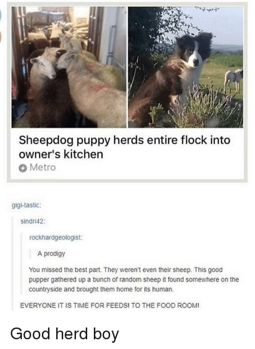 sheepdog: Sheepdog puppy herds entire flock into  owner's kitchen  Metro  gigi-tastic:  sindri42:  rockhardgeologist:  A prodigy  You missed the best part. They weren't even their sheep. This good  pupper gathered up a bunch of random sheep it found somewhere on the  countryside and brought them home for its human  EVERYONE IT IS TIME FOR FEEDS! TO THE FOOD ROOM! <p>Good herd boy</p>