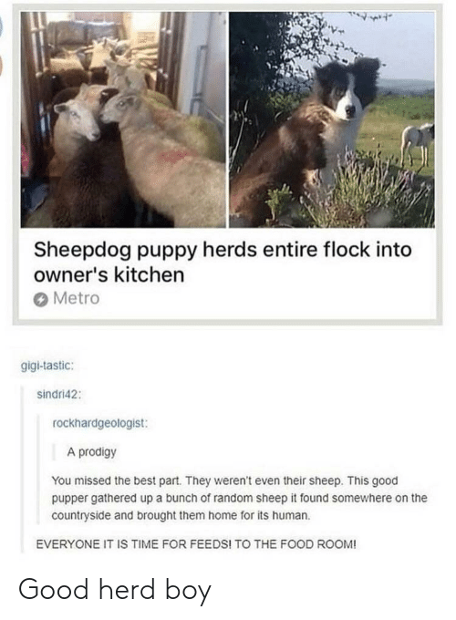 sheepdog: Sheepdog puppy herds entire flock into  owner's kitchen  Metro  gigi-tastic:  sindri42:  rockhardgeologist:  A prodigy  You missed the best part. They weren't even their sheep. This good  pupper gathered up a bunch of random sheep it found somewhere on the  countryside and brought them home for its human  EVERYONE IT IS TIME FOR FEEDS! TO THE FOOD ROOM! Good herd boy