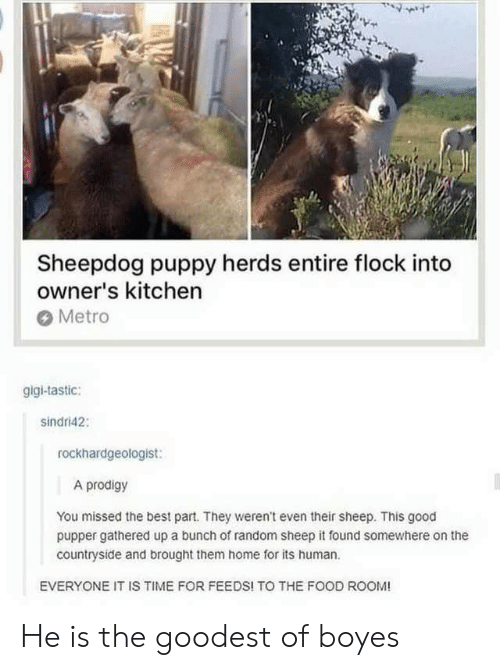 sheepdog: Sheepdog puppy herds entire flock into  owner's kitchen  Metro  gigi-tastic:  sindri42  rockhardgeologist:  A prodigy  You missed the best part. They weren't even their sheep. This good  pupper gathered up a bunch of random sheep it found somewhere on the  countryside and brought them home for its human.  EVERYONE IT IS TIME FOR FEEDS! TO THE FOOD ROOM! He is the goodest of boyes