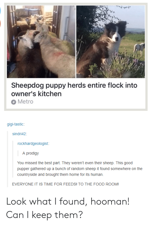sheepdog: Sheepdog puppy herds entire flock into  owner's kitchen  Metro  gigi-tastic  sindri42  rockhardgeologist  A prodigy  You missed the best part. They weren't even their sheep. This good  pupper gathered up a bunch of random sheep it found somewhere on the  countryside and brought them home for its human.  EVERYONE IT IS TIME FOR FEEDS! TO THE FOOD ROOM! Look what I found, hooman! Can I keep them?