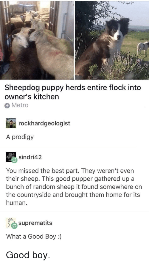 sheepdog: Sheepdog puppy herds entire flock into  owner's kitchen  Metro  rockhardgeologist  A prodigy  sindri42  You missed the best part. They weren't even  their sheep. This good pupper gathered up a  bunch of random sheep it found somewhere on  the countryside and brought them home for its  human.  suprematits  What a Good Boy :) <p>Good boy.</p>