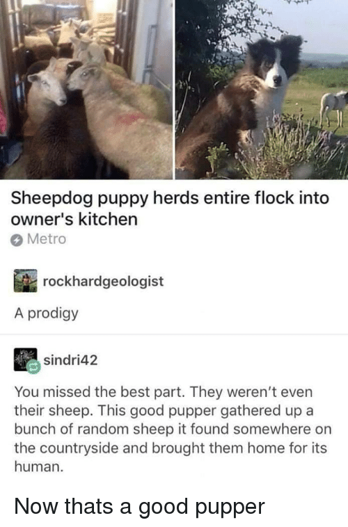 sheepdog: Sheepdog puppy herds entire flock into  owner's kitchen  Metro  rockhardgeologist  A prodigy  sindri42  You missed the best part. They weren't even  their sheep. This good pupper gathered up a  bunch of random sheep it found somewhere on  the countryside and brought them home for its  human. Now thats a good pupper
