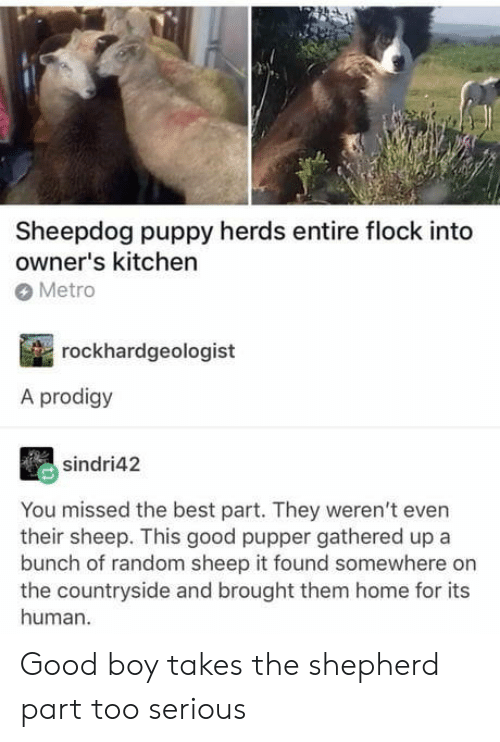 sheepdog: Sheepdog puppy herds entire flock into  owner's kitchen  Metro  rockhardgeologist  A prodigy  sindri42  You missed the best part. They weren't even  their sheep. This good pupper gathered up a  bunch of random sheep it found somewhere on  the countryside and brought them home for its  human. Good boy takes the shepherd part too serious