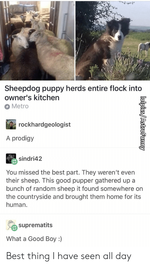 sheepdog: Sheepdog puppy herds entire flock into  owner's kitchen  Metro  rockhardgeologist  A prodigy  sindri42  You missed the best part. They weren't even  their sheep. This good pupper gathered up a  bunch of random sheep it found somewhere on  the countryside and brought them home for its  human.  suprematits  What a Good Boy :) Best thing I have seen all day