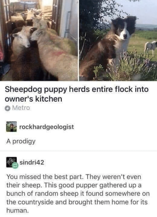 Dank, Best, and Good: Sheepdog puppy herds entire flock into  owner's kitchen  Metro  rockhardgeologist  A prodigy  sindri42  You missed the best part. They weren't even  their sheep. This good pupper gathered up a  bunch of random sheep it found somewhere on  the countryside and brought them home for its  human