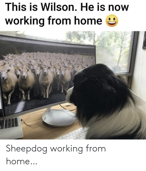 working from home: Sheepdog working from home…