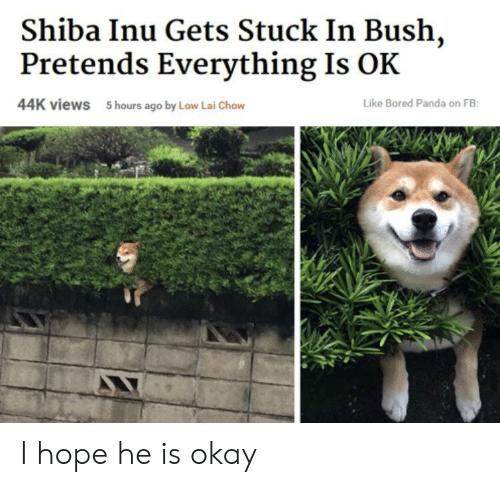 Shiba Inu: Shiba Inu Gets Stuck In Bush,  Pretends Everything Is OK  44K views  5 hours ago by Low Lai Chow  Like Bored Panda on FB I hope he is okay