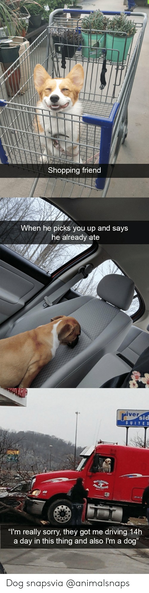 """Driving, Shopping, and Sorry: Shopping friend   When he picks you up and says  he already ate   iver  sid  SUITE S  """"I'm really sorry, they got me driving 14h  a day in this thing and also I'm a dog Dog snapsvia @animalsnaps"""