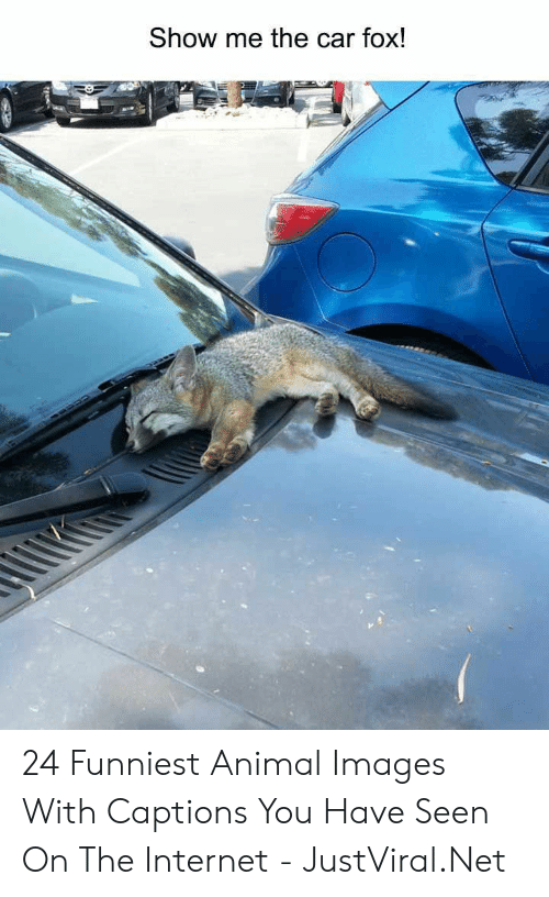 Internet, Animal, and Images: Show me the car fox! 24 Funniest Animal Images With Captions You Have Seen On The Internet - JustViral.Net