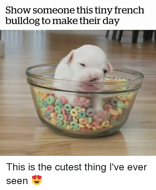 Bulldog: Show someone this tiny french  bulldog to make their day This is the cutest thing I've ever seen 😍