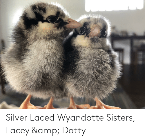 sisters: Silver Laced Wyandotte Sisters, Lacey & Dotty