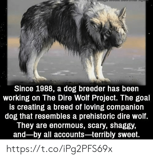dire wolf: Since 1988, a dog breeder has been  working on The Dire Wolf Project. The goal  is creating a breed of loving companion  dog that resembles a prehistoric dire wolf.  They are enormous, scary, shaggy,  and-by all accounts-terribly sweet. https://t.co/iPg2PFS69x