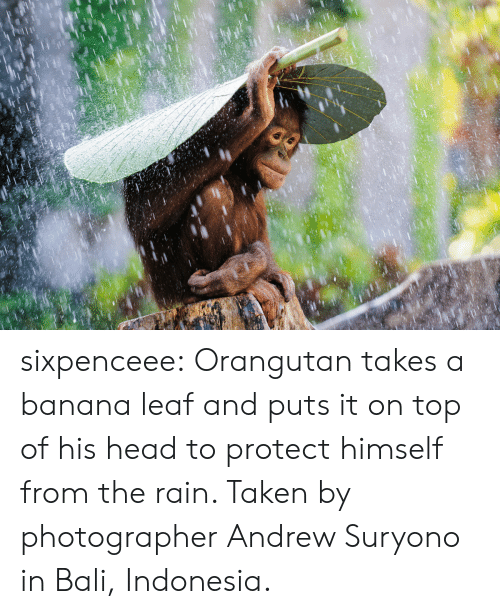 Raine: sixpenceee:  Orangutan takes a banana leaf and puts it on top of his head to protect himself from the rain. Taken by photographerAndrew Suryono in Bali, Indonesia.