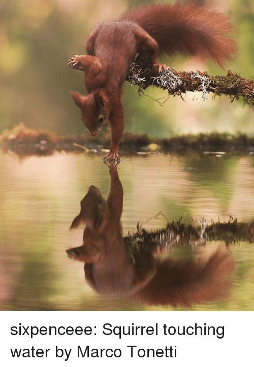 Target, Tumblr, and Blog: sixpenceee:  Squirrel touching water by Marco Tonetti