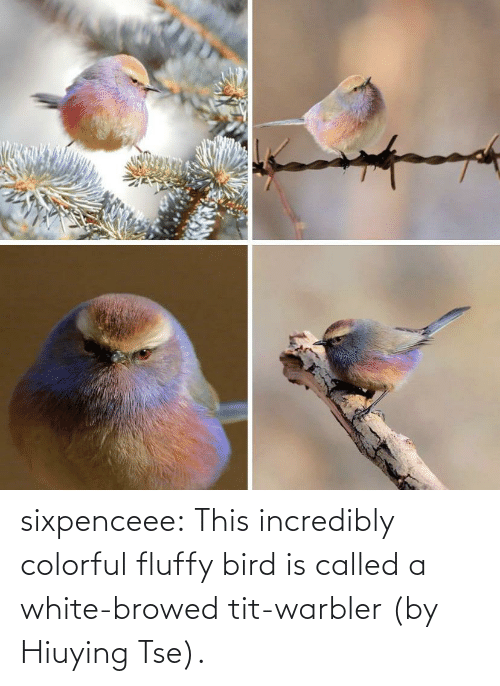 Incredibly: sixpenceee:  This incredibly colorful fluffy bird is called a white-browed tit-warbler (by Hiuying Tse).