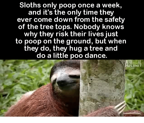 Nobody Know: Sloths only poop once a week,  and it's the only time they  ever come down from the safety  of the tree tops. Nobody knows  why they risk their lives just  to poop on the ground, but when  they do, they hug a tree and  do a little poo dance.