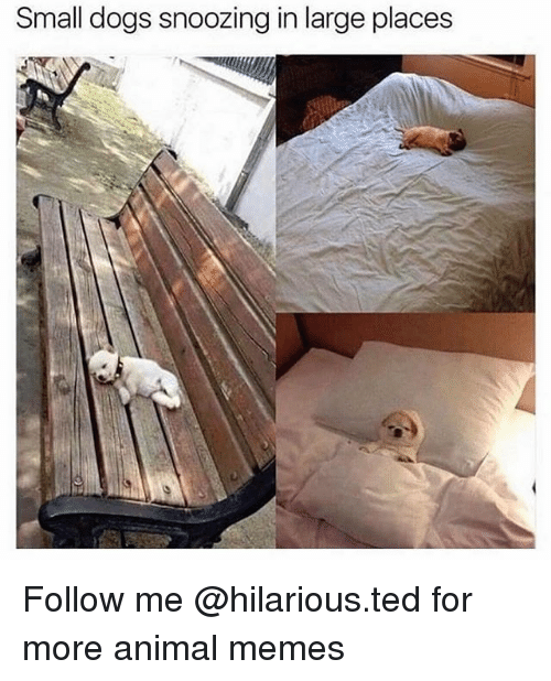 Dogs, Funny, and Memes: Small dogs snoozing in large places Follow me @hilarious.ted for more animal memes