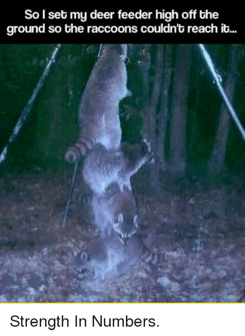 The Raccoons: So l set my deer feeder high off the  ground so the raccoons couldn't reach it... <p>Strength In Numbers.</p>