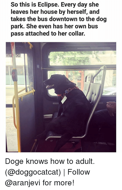 doges: So this is Eclipse. Every day she  leaves her house by herself, and  takes the bus downtown to the dog  park. She even has her own bus  pass attached to her collar.  OR  XIT Doge knows how to adult. (@doggocatcat) | Follow @aranjevi for more!