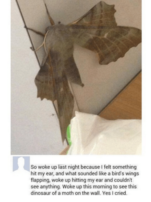 like a bird: So woke up last night because I felt something  hit my ear, and what sounded like a bird's wings  flapping, woke up hitting my ear and couldn't  see anything. Woke up this morning to see this  dinosaur of a moth on the wall. Yes I cried.