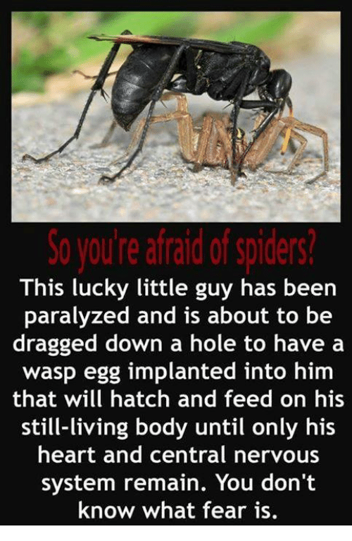 Paralyzation: So you're afraid of spiders?  This lucky little guy has been  paralyzed and is about to be  dragged down a hole to have a  wasp egg implanted into  him  that will hatch and feed on his  still-living body until only his  heart and central nervous  system remain. You don't  know what fear is.