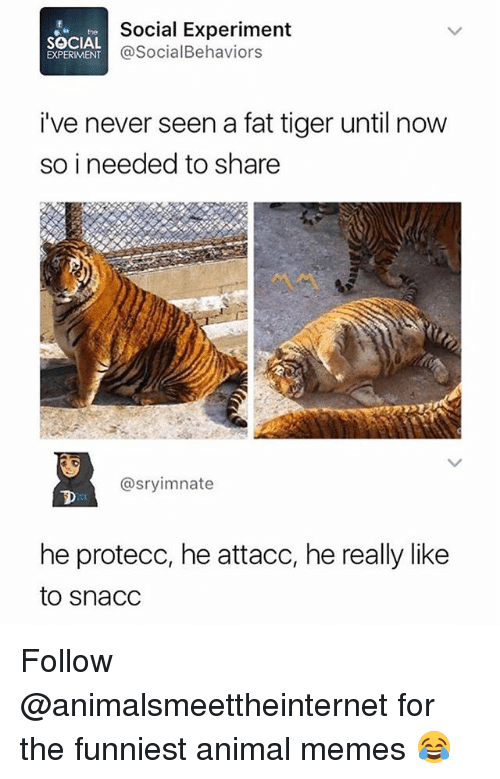 Memes, Animal, and Tiger: Social Experiment  @SocialBehaviors  hthe  SOCIAL  EXPERIMENT  i've never seen a fat tiger until now  so i needed to share  @sryimnate  he protecc, he attacc, he really like  to snacC Follow @animalsmeettheinternet for the funniest animal memes 😂
