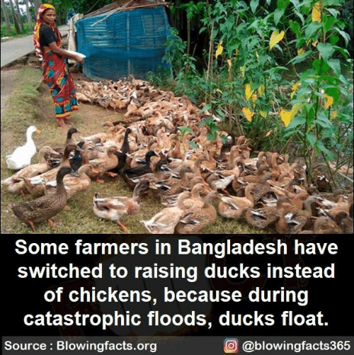 bangladesh: Some farmers in Bangladesh have  switched to raising ducks instead  of chickens, because during  catastrophic floods, ducks float.  Source: Blowingfacts.org  O @blowingfacts365