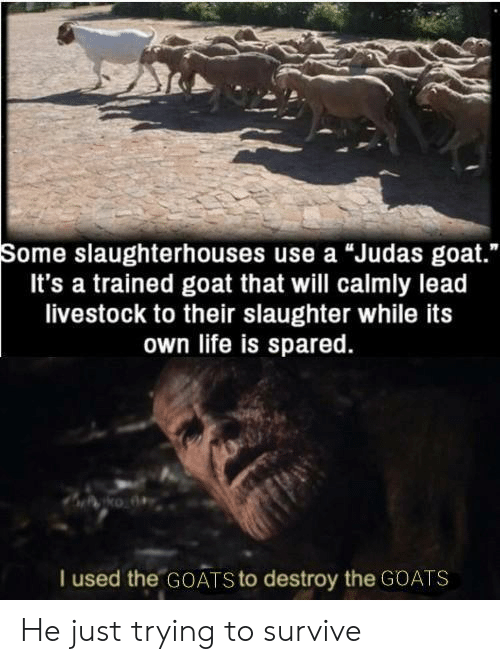 "goats: Some slaughterhouses use a ""Judas goat.""  It's a trained goat that will calmly lead  livestock to their slaughter while its  own life is spared.  I used the GOATS to destroy the GOATS He just trying to survive"